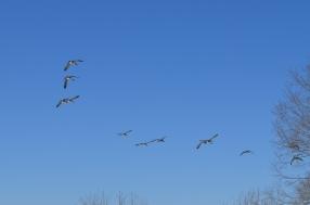 Geese landing.