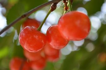 Cherries on the cherry trees in the Demonstration Garden.