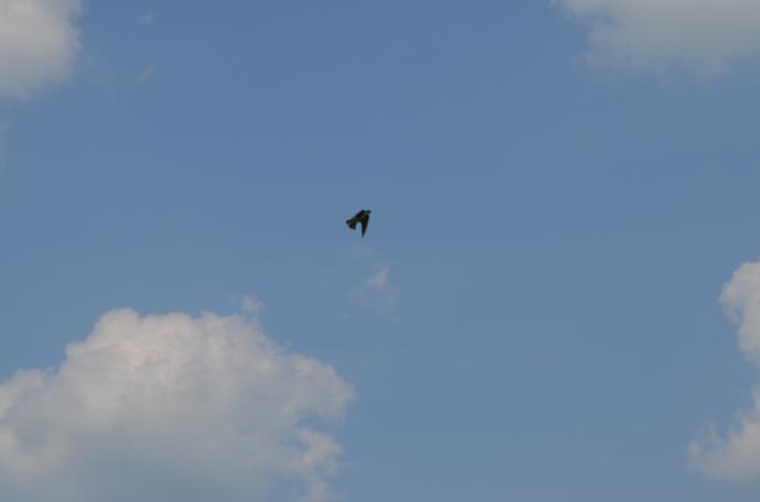 Bluebird in flight.