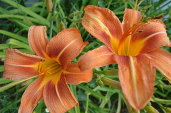 Daylilies in the Demonstration Garden.