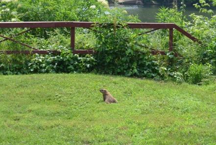 Groundhog near the river.