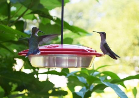 Hummingbird 01