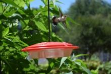 Hummingbird04