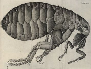 "A flea viewed through a microscope and drawn by Robert Hooke for his ""Micrographia or some physiological descriptions of minute bodies made by magnifying glasses with observations and inquiries thereupon"" (1655). Credit: National Library of Wales. Public Domain."