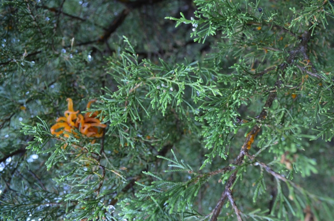Apple Cedar Rust (3)