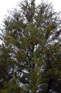 Apple Cedar Rust (4)