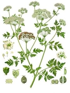 Hemlock in Köhler's Medizinal Pflanzen