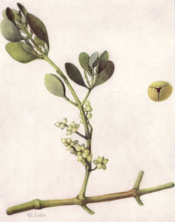 "American Mistletoe (Phoradendron leucarpum) by Mary E. Eaton in ""Our State Flowers: The Floral Emblems Chosen by the Commonwealths"", The National Geographic Magazine, XXXI (June 1917), p. 514. Credit: Wikipedia."