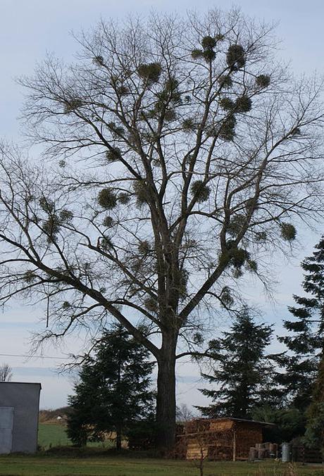Mistletoe in a tree. Credit: Feťour/Wikipedia.