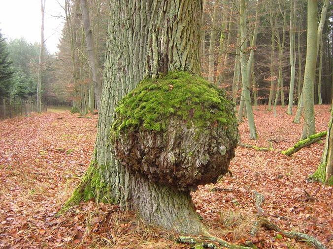 Burl on a oak tree