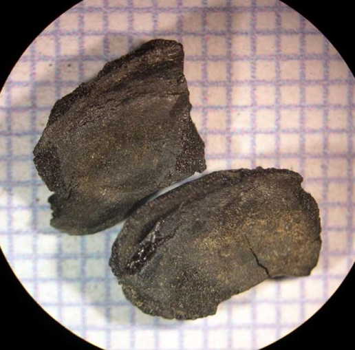 Common bean (Phaseolus vulgaris) cotyledon half and fragment. Scale = 1mm grid. Credit: Justine McKnight.