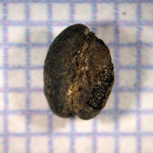 Wheat (Triticum aestivum) kernel recovered from Sample FF-22-00544. Scale = 1mm grid. Credit: Justine McKnight.