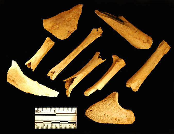 Assortment of Faunal Remains