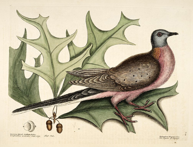 Passenger Pigeon by Mark Catesby